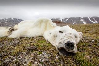 ac-polar-bear